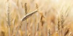 Origine du blé