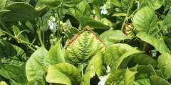 كتاب الخبير في امراض محاصيل الخضر علاقة العناصر الغذائية بالإصابات المرضية