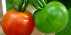 كتاب .. زراعة الطماطم