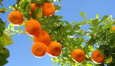 العوامل البيئية التي تؤثر على نجاح زراعة الحمضيات