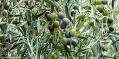 زراعة الزيتون (الإكثار )