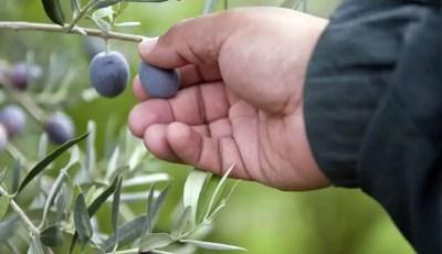 البيئة الملائمة لزراعة أشجار الزيتون