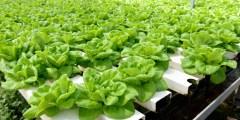 الزراعة بدون تربة ( Hydroponic )
