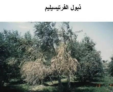 ذبول الفيرتسيليم: