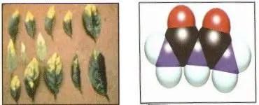 شكل )2أ الشكل الفراغي لجزيء البيوريت، ب سمية البيوريت.الشحات 200