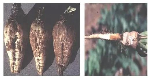 شكل رقم (3 ) أعراض الإصابة على جذور بنجر السكر