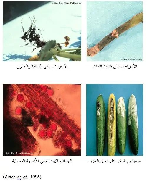 شكل رقم (2): الأعراض على بادرات ونباتات وثمار الخيار والجراثيم البيضية داخل النسيج المصاب