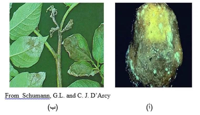 شكل رقم (3): أعراض الإصابة بالفطر Phytophthora infestans على البطاطس