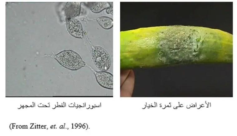 شكل رقم (1 ) الأعراض على ثمرة الخيار واسبورانجيات الفطر تحت المجهر