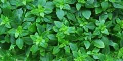 تعريف النباتات الطبية والعطرية