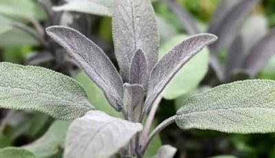 مراحل ومواعيد جمع الأجزاء النباتية للنباتات الطبية والعطرية
