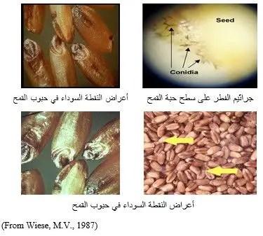 شالكل رقم (1): أعراض النقطة السوداء في حبوب القمح.