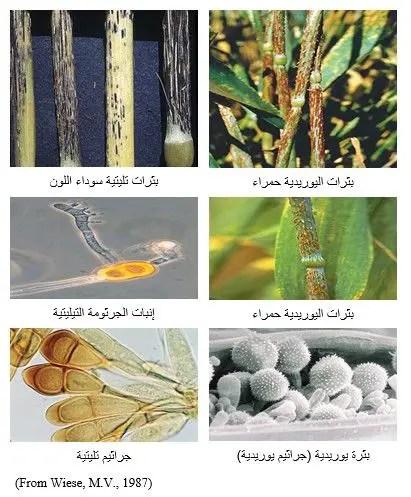 شكل رقم (1) البثرات اليوريدية والبثرات التليتية على نبات القمح (العائل الأساسي)