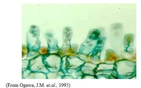 شكل رقم (1): الأكياس الأسكية العارية (كل كيس أسكي يحتوي على 8 جراثيم اسكية) (قطاع عرضي في ورقة نبات الخوخ)