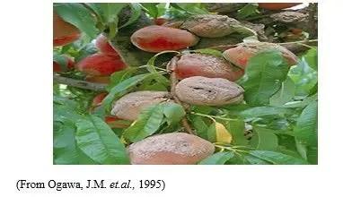 شكل رقم (2) الأعراض على ثمار المشمش