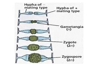 شكل رقم (2) خطوات تكوين الجرثومة الزيجوية (الفطر ريزوبس)