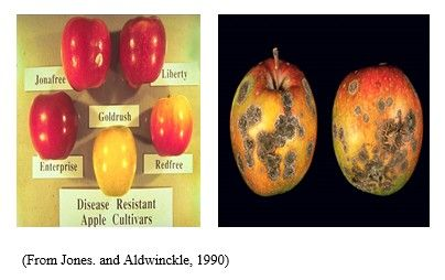 شكل رقم (3): الأعراض على ثمار التفاح والأصناف المقاومة لمرض جرب التفاح.