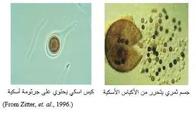 شكل رقم (1): الجسم الثمري يتحرر منه الأكياس الأسكية والجرثومة الأسكية