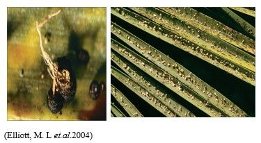 شكل رقم (1) الأعراض على اوراق النخيل Phoenix canariensis  (2) بثرات صلبة بنية داكنة اللون تتكون على سطحي وريقات النخيل.
