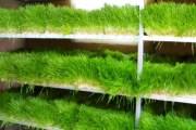 إنتاج علف الشعير الأخضر بدون تربة زراعية (الاستنبات)
