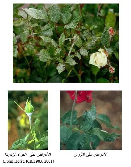 شكل رقم (1) أعراض الإصابة بمرض البياض الدقيقي على الأوراق  والأجزاء الزهرية