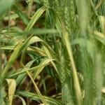 الأمراض المتسببة عن الفطر سيفالواسبوريم Cephalosporium stripe
