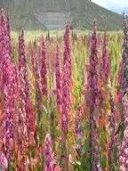 الكينوا Chenopodium quinoa
