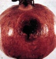 شكل رقم (1): أعراض الإصابة بالفطر أسبرجلس على ثمرة الرمان