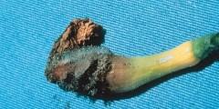 الأمراض المتسببة عن الفطريات الزيجوية