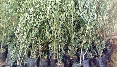 زراعة الزيتون ( إنتاج شتلات الأصل )