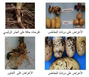 شكل رقم (1) أعراض مرض تقرح الساق والقشرة السوداء في البطاطس