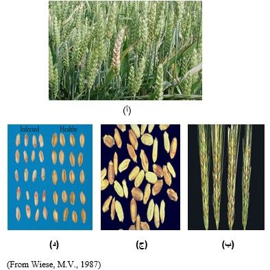 شكل رقم (2 ) أعراض الجرب على السنابل والحبوب.  (أ) ، (ب): الأعراض على سنابل القمح. (ج)، ( د): الأعراض على الحبوب