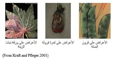 شكل رقم (2) الأعراض على قرون البسلة، ثمرة الفراولة وورقة نبات الزيتة.