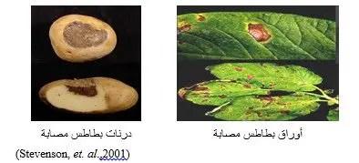 شكل رقم (2): أعراض اللفحة المبكرة على أوراق ودرنات البطاطس