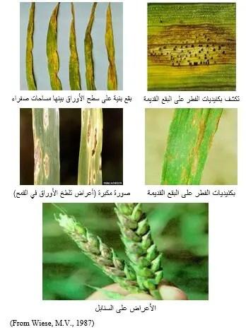 شكل رقم (1) أعراض الإصابة بمرض تلطخ الأوراق والسنابل