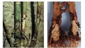 شكل رقم (1) الأعراض على جذور البرسيم