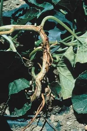 شكل رقم (1): تلون بني عند قاعدة الساق والجذور (نبات البطيخ)