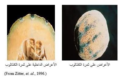 شكل رقم (1) الأعراض الخارجية والداخلية على ثمرة الكنتالوب (الشمام).