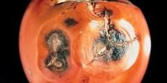 الأمراض المتسببة عن الفطر كوليتوتريكم Colletotrichum spp