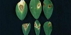 الأمراض المتسببة عن الفطر إستفاليوم Stemphylium