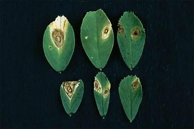 الأمراض المتسببة عن الفطر استفاليوم Stemphylium