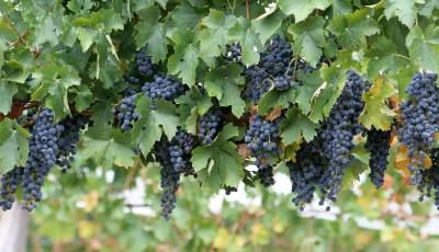 مراقبة التغذية المعدنية عند أشجار العنب