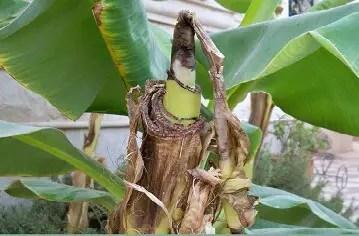 طرق إكثار الموز