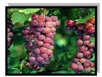 أصناف العنب الجدیدة