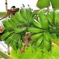 زراعة وانتاج الموز