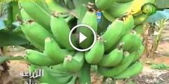 زراعة الموز وكل المعاملات الزراعية تسميد وري ومكافحة الافات