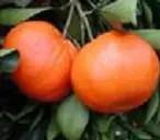 یوسفي ساتزوما (برتقال الیابان )