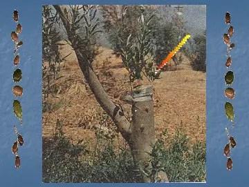 یوضح الرسم النموات الناتجة بعد عام من تطعیم الأفرع الرئیسیة لشجرة عمرها  30 سنه