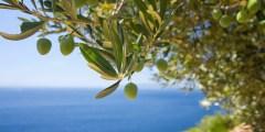الوصف النباتى لشجر الزيتون