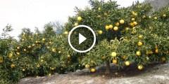 فيديو .. زراعة الليمون وفكرة التصويم ليعطى المحصول انتاج طول السنة
